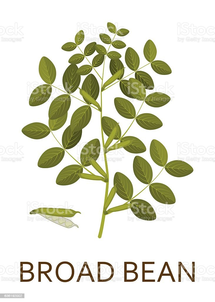 Broad bean plant with leaves and pods. Vector illustration. vector art illustration