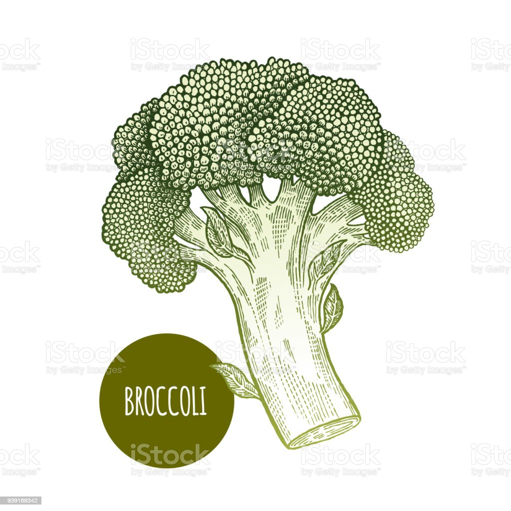 Brocoli isolé sur fond blanc. - Illustration vectorielle