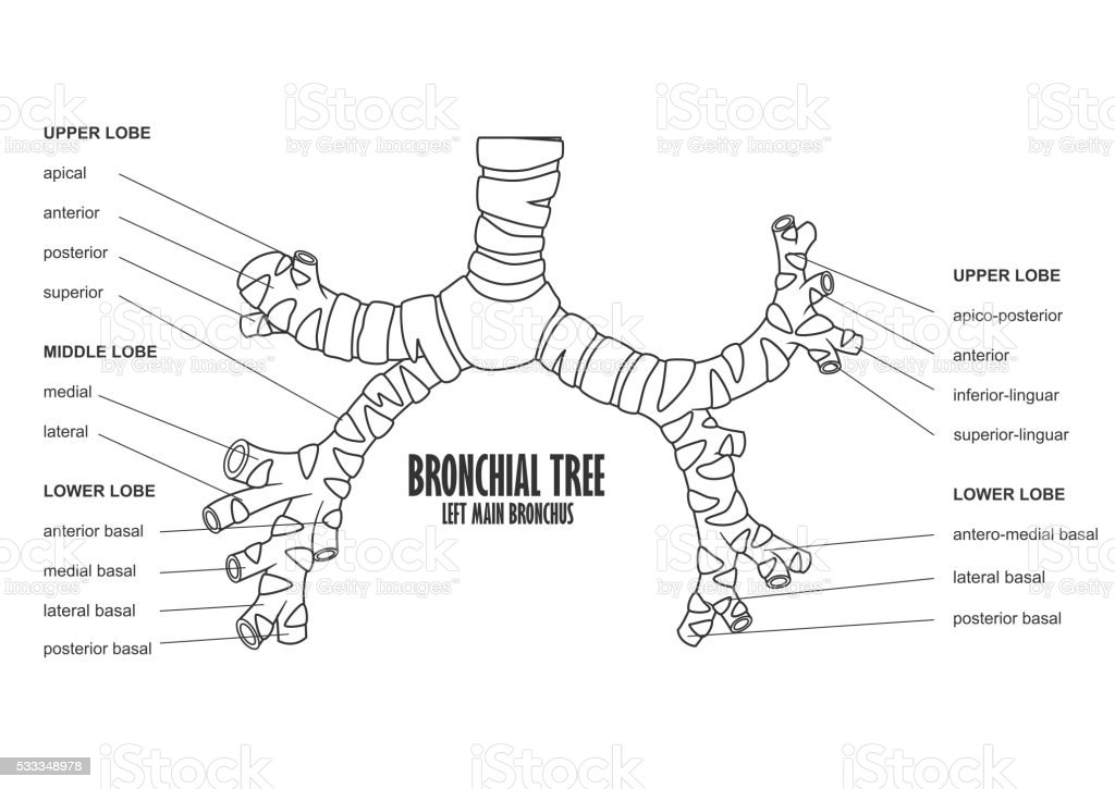 Bronchial Tree Left Main Bronchus Human Anatomy Stock Vector Art ...