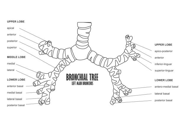 Royalty Free Bronchial Tree Clip Art Vector Images Illustrations