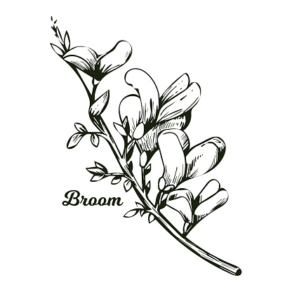 Broom flower, dyers greenwood, weed and whin, furze, green broom, greenweed, wood waxen vector illustration of blooming flowers. Genista tinctoria, lupine lupin gorse and laburnum monochrome.