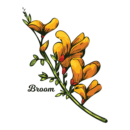 Broom flower, dyers greenwood, weed and whin, furze, green broom, greenweed, wood waxen vector illustration of yellow blooming flowers. Genista tinctoria, lupine lupin gorse and laburnum.