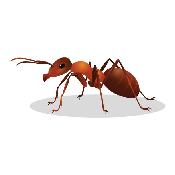 Brown ant isolated on white. Insect icon. Termite. Brown ant isolated on white. Insect icon. Termite. Eusocial insect. Brown animal insect creature with elbowed antennae and t distinctive node-like structure that forms their slender waists. Vector ant stock illustrations