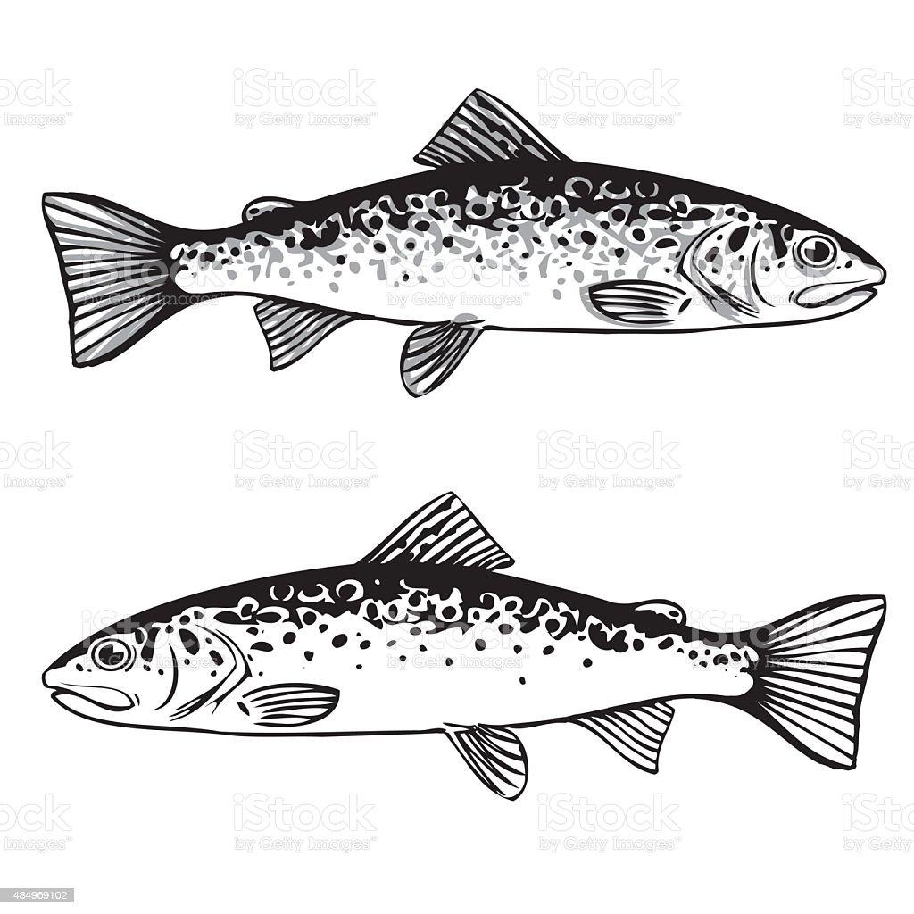 Brown Trout Illustration vector art illustration
