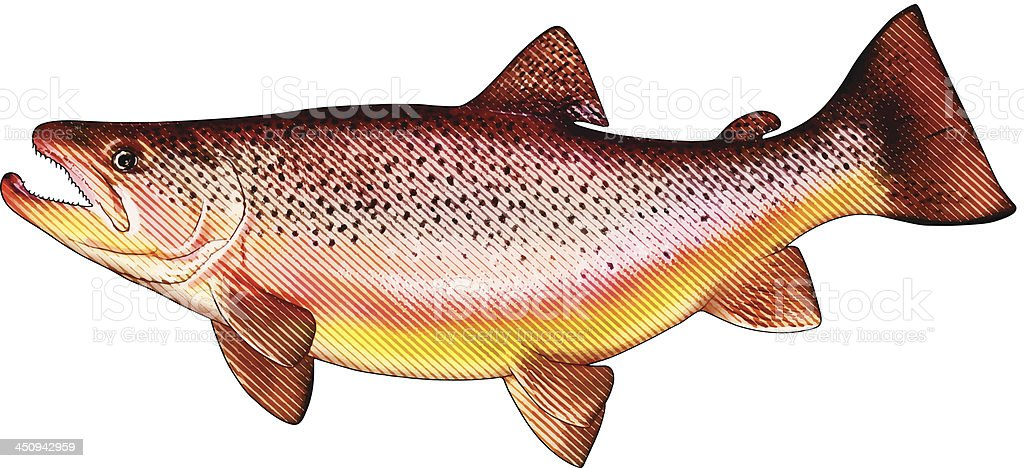 Brown Trout Isolated On White vector art illustration