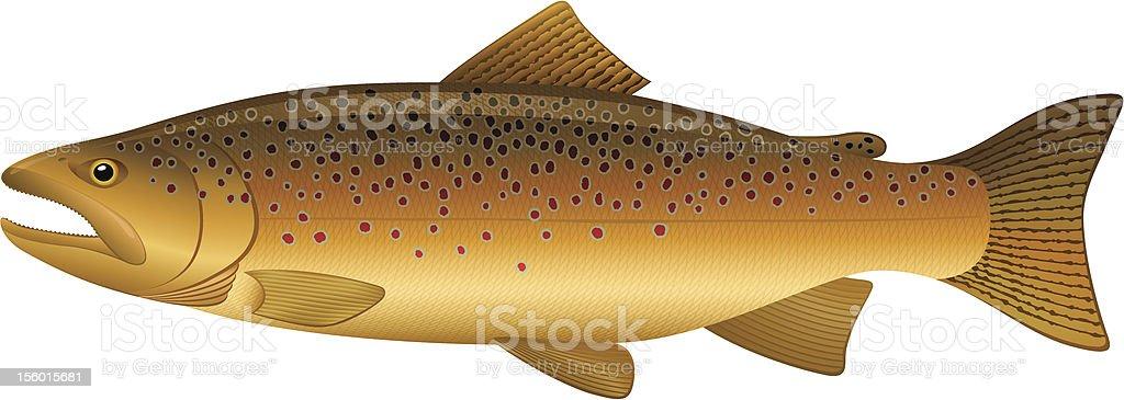 Brown Trout vector art illustration