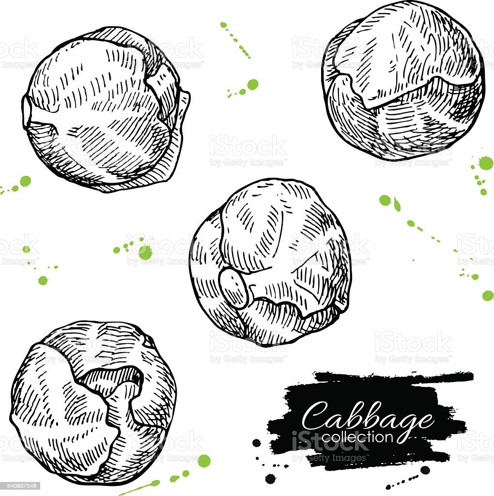 Brussel sprout hand drawn vector illustrations. Isolated brussel cabbage vector art illustration