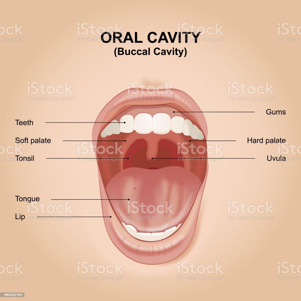 Cavidade bucal (Oral bucal) - Vetor de Boca royalty-free