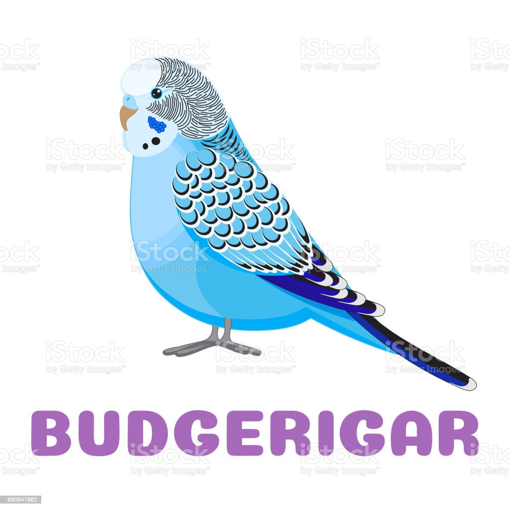 Budgerigar blue parrot flashcard. Budgie common parakeet vector illustration for kids education and child reading skills development. Sight Words Flash Cards For children to learn read and spell. vector art illustration