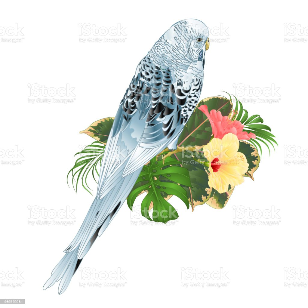 Budgerigar, blue pet parakeet or shell parakeet or budgie home pet with philodendron and hibiscus pink and yellow  on a white background vintage vector illustration editable vector art illustration