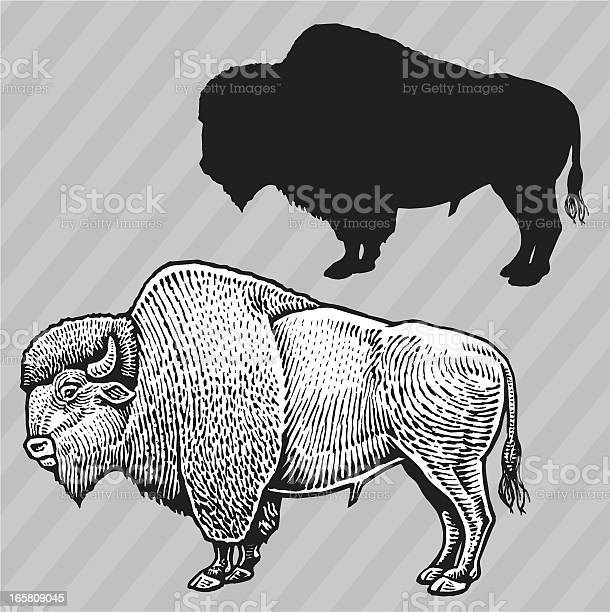 Buffalo american bison vector id165809045?b=1&k=6&m=165809045&s=612x612&h=acbwcykslyxdx1ek5q70 2gkb6we7vljiwzan0uz2wa=