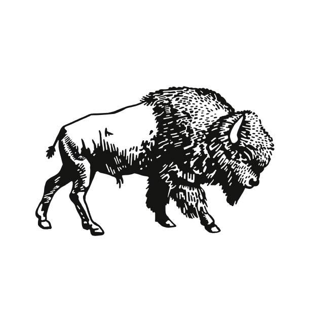 Buffalo Buffalo american bison stock illustrations
