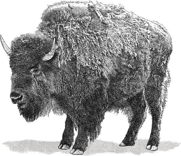 Buffalo vector art illustration