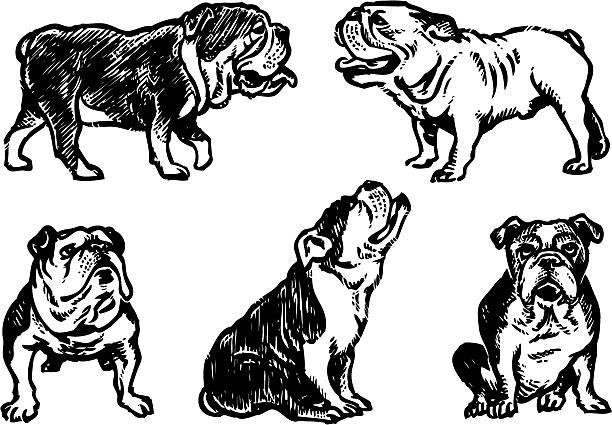 bildbanksillustrationer, clip art samt tecknat material och ikoner med bulldogs sketch - bulldog