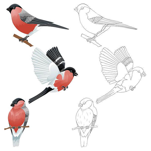 dompfaff auf ast oder fliegen - dompfaff stock-grafiken, -clipart, -cartoons und -symbole