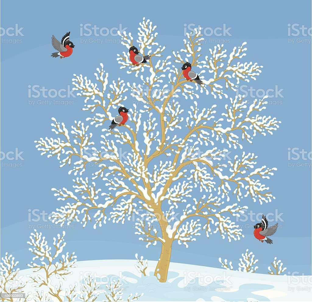 bullfinches royalty-free stock vector art