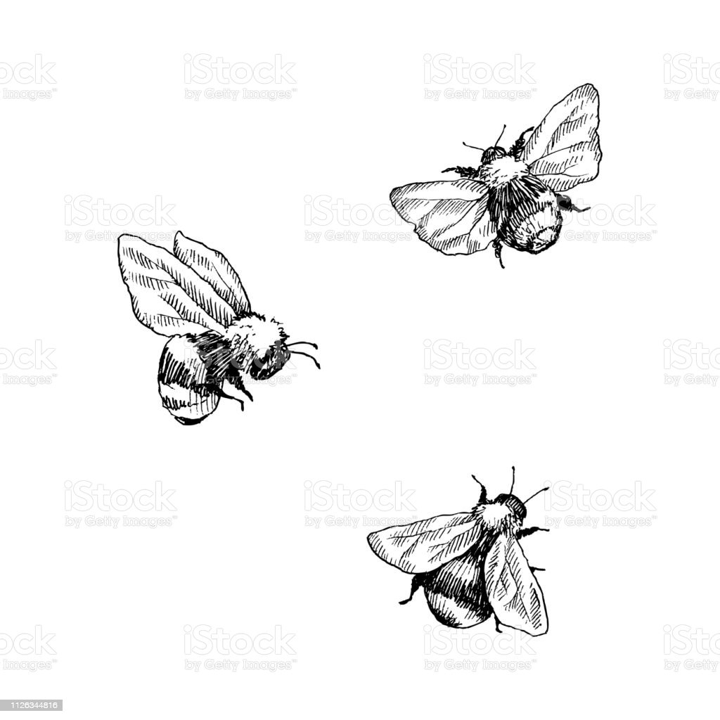 Bumblebee set. Hand drawn vector illustration. Vector drawing of tree honeybee. Hand drawn insect sketch isolated on white. Engraving style bumble bee illustrations. vector art illustration