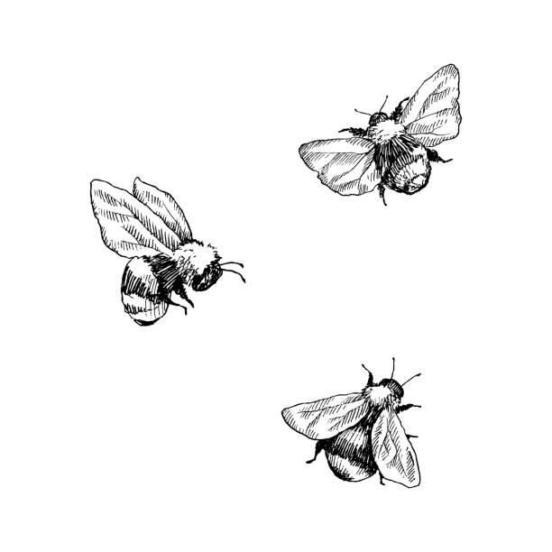 bumblebee set. hand drawn vector illustration. vector drawing of tree honeybee. hand drawn insect sketch isolated on white. engraving style bumble bee illustrations. - animals background stock illustrations