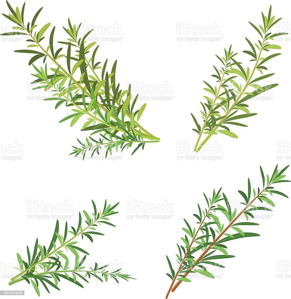 bunch fresh rosemary herb isolated set vector art illustration