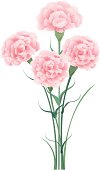 A bunch of pink carnations