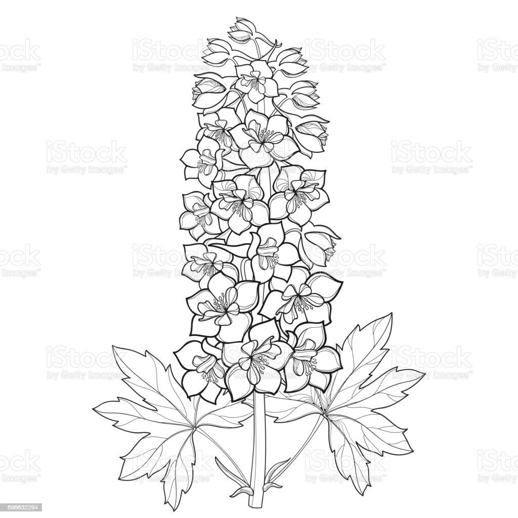 Bunch of delphinium or larkspur with flower stem bud and leaf bunch of delphinium or larkspur with flower stem bud and leaf isolated on white mightylinksfo