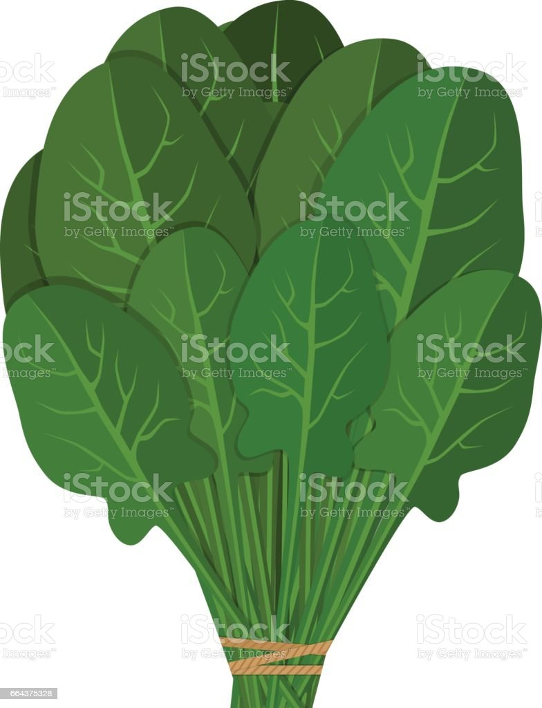 Bunch of fresh spinach close up. Green salad leaf vegetable. Healthy vegetarian food. Hand drawn colorful sketch. vector art illustration