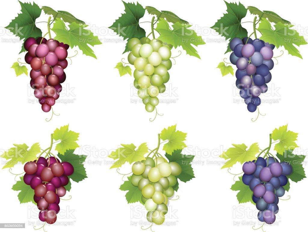 Tas de différentes variétés de raisins tas de différentes variétés de raisins vecteurs libres de droits et plus d'images vectorielles de affluence libre de droits