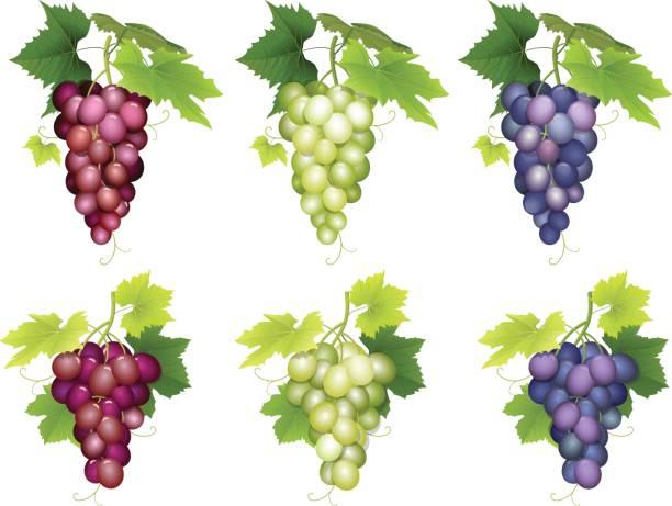 ブドウ品種の束 - マスカット イラスト点のイラスト素材/クリップアート素材/マンガ素材/アイコン素材