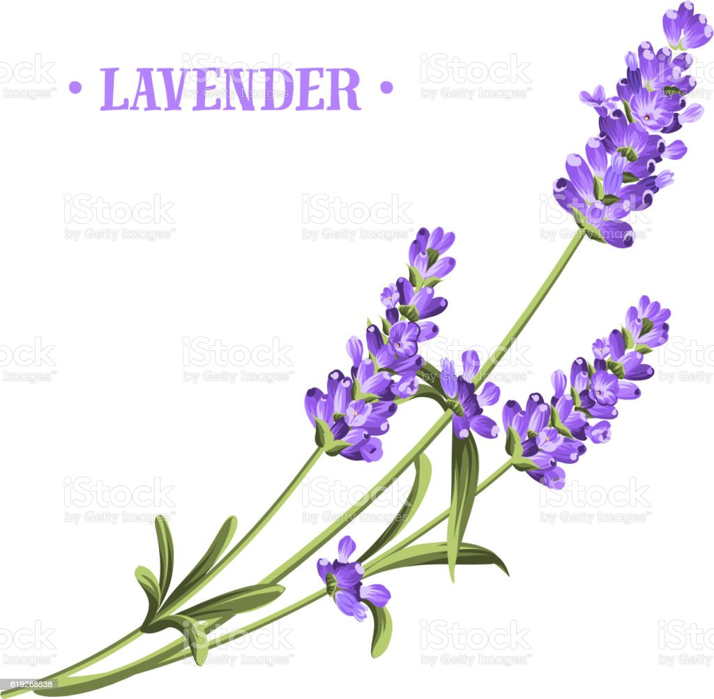 bunch of lavender stock vector art amp more images of