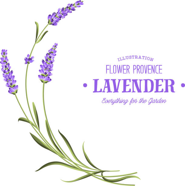 Bunch of lavender. Bunch of lavender flowers on a white background. lavender plant stock illustrations