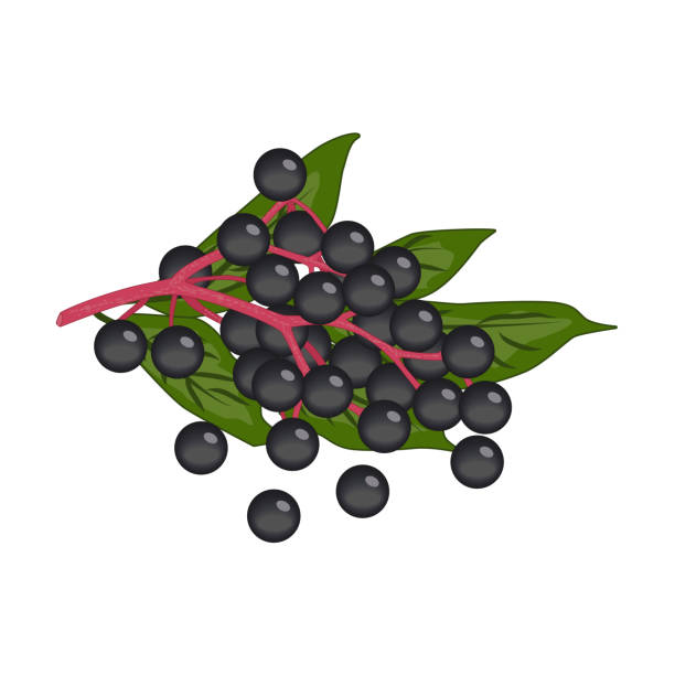 Bunch of small black round elderberry berries with green leaves - vector clipart vector art illustration