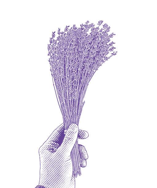 bildbanksillustrationer, clip art samt tecknat material och ikoner med paket med lavendel - lavender engraving