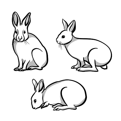 Bunny rabbits sketch illustration in vector format.  Three poses from this cute realistic looking mammal