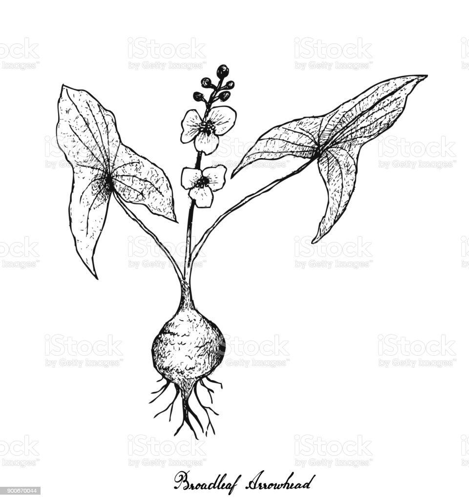Bardane Arctium Lappa Ampoule Tête Légume Racine Food Végétarien Brut Gastronomique Bio Cuisine Ingrédient Repas Snack Fruits Tuber Naturelles