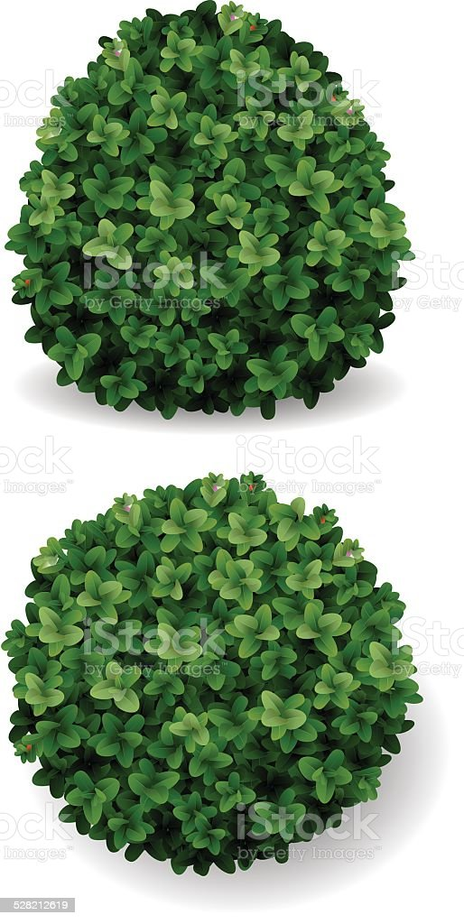 bush decorative boxwood vector art illustration