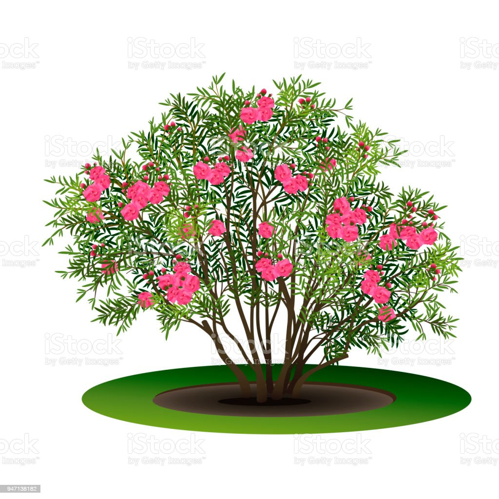 Bush Nerium Oleander With Pink Flowers Stock Vector Art More