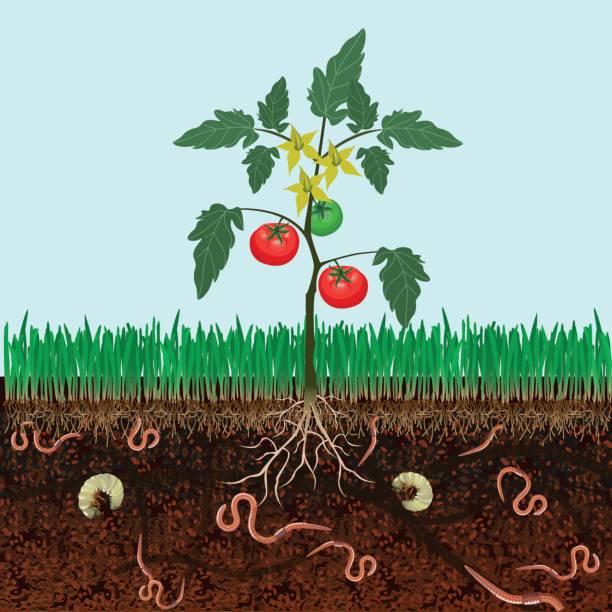 Bush tomatoes Ground cutaway with bush tomatoes nematode worm stock illustrations