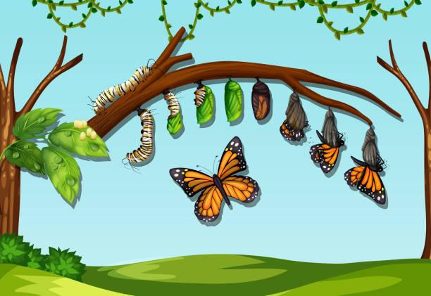 stockillustraties, clipart, cartoons en iconen met een boter vlieg levenscyclus - rups