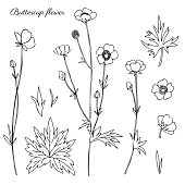 Buttercup flower or Crowfoot vector illustration isolated on white background, ink sketch, decorative herbal doodle, line art style for design medicine, wedding invitation, greeting card, cosmetic