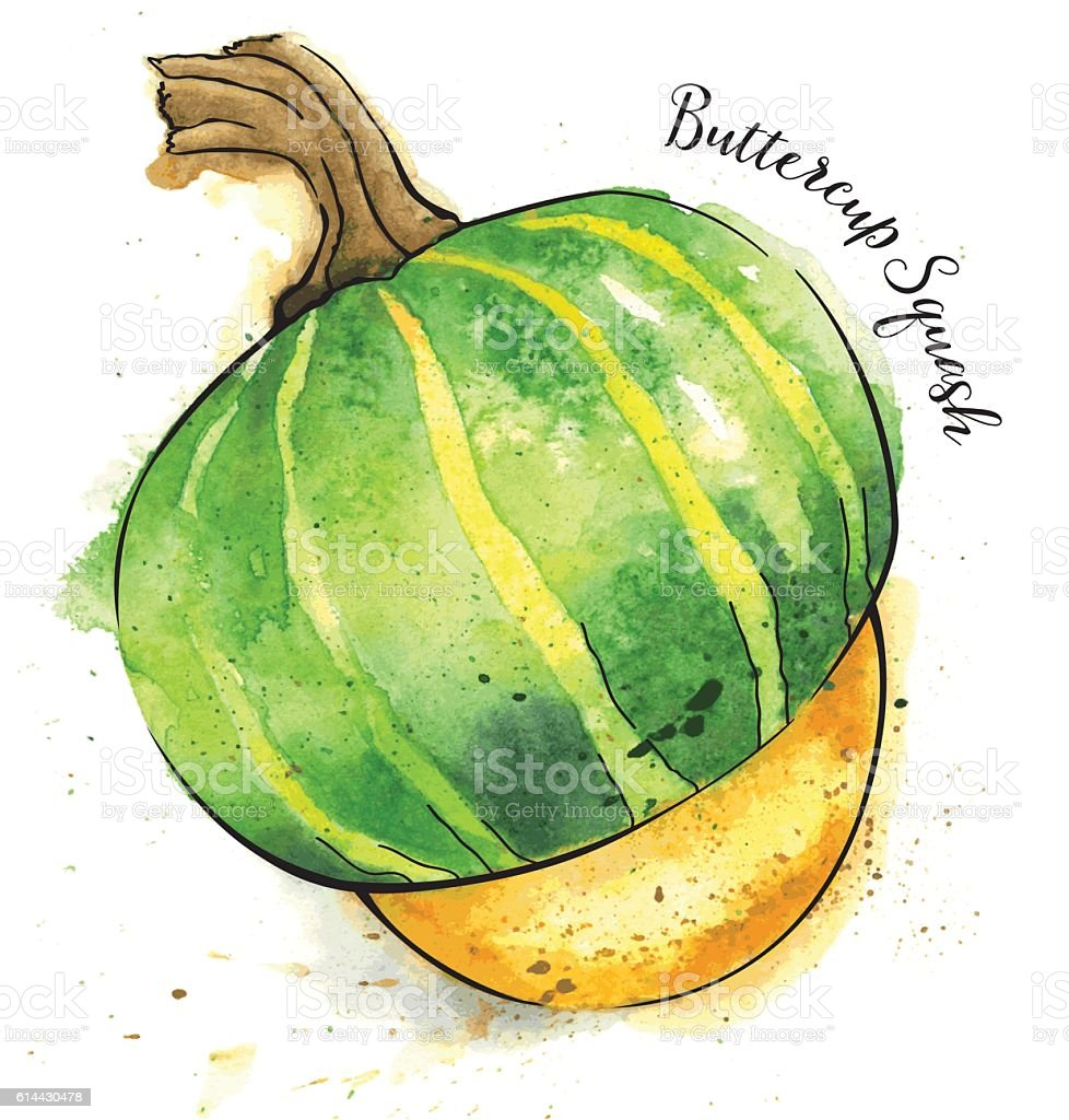 Buttercup Squash Painted in Watercolor - Vector Illustration vector art illustration