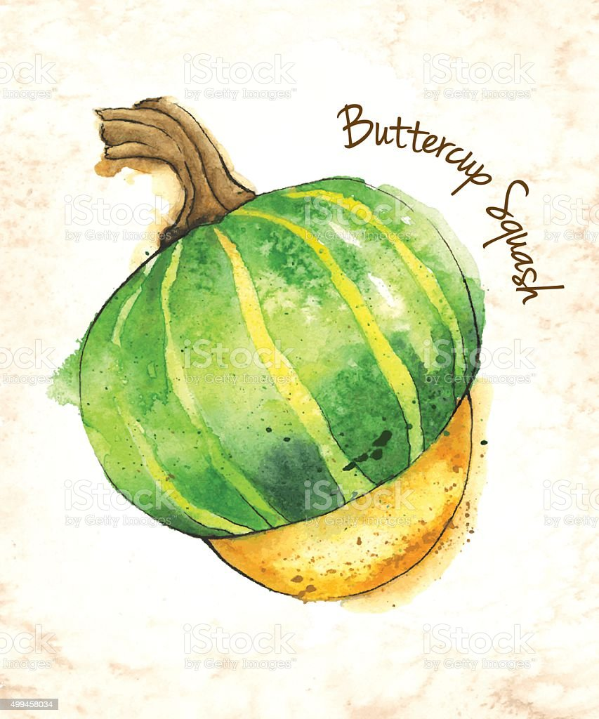 Buttercup Squash Vector Illustration Painted in Watercolor vector art illustration
