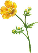 Buttercup yellow flower on white background. Watercolor floral illustration.