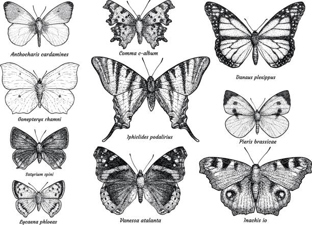 Butterfly collection, illustration, drawing, engraving, ink, line art, vector Illustration, what made by ink, then it was digitalized. butterfly insect stock illustrations