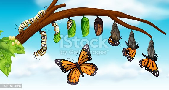 A butterfly life cycle illustration