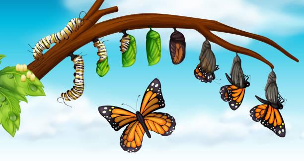 illustrazioni stock, clip art, cartoni animati e icone di tendenza di a butterfly life cycle - farfalla ramo