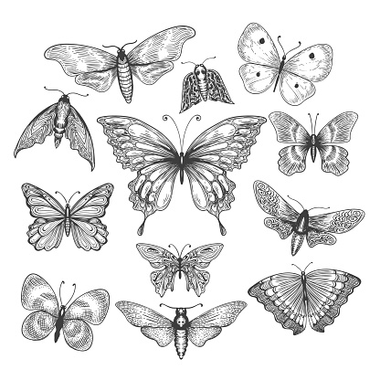 Butterfly, mariposa sketch clipart
