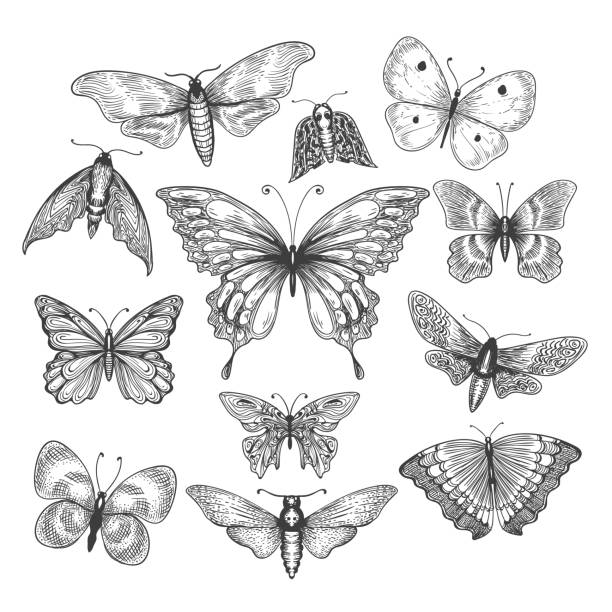 illustrations, cliparts, dessins animés et icônes de papillon, esquisse de mariposa - papillon