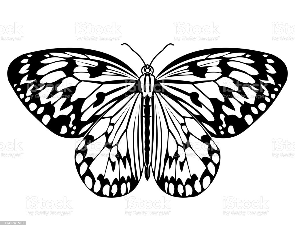 Butterfly monochrome drawing in black and white isolated