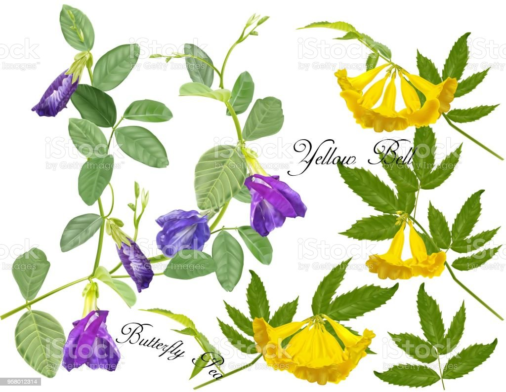 Butterfly Pea And Yellow Bell Flowers Stock Vector Art More Images