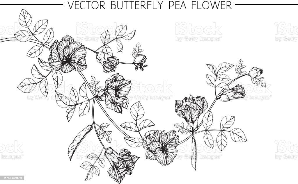 Butterfly pea flowers drawing and sketch with line-art on white backgrounds. butterfly pea flowers drawing and sketch with lineart on white backgrounds – cliparts vectoriels et plus d'images de amour libre de droits